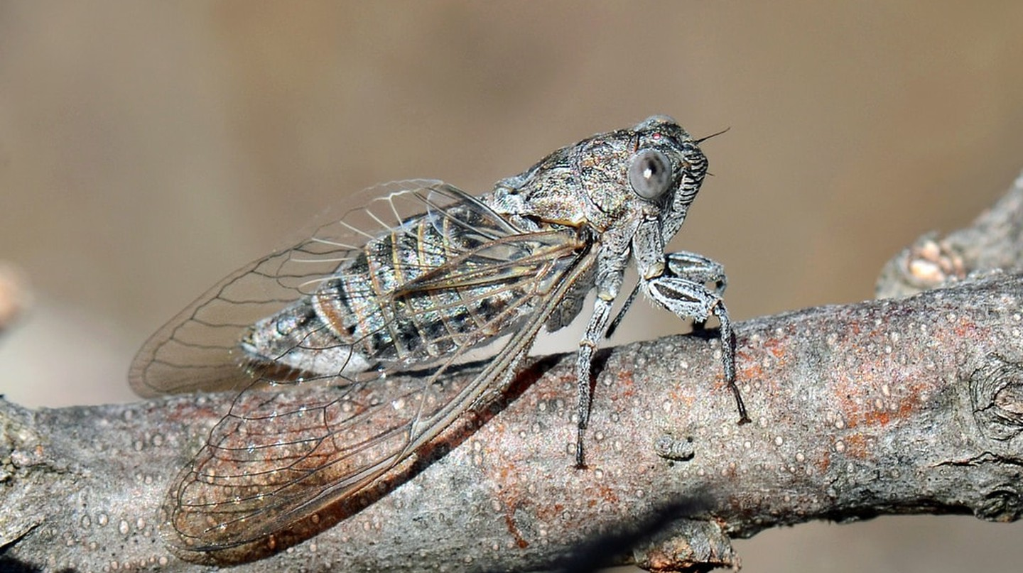 Dipped in chocolate, the cicada can be surprisingly delicious
