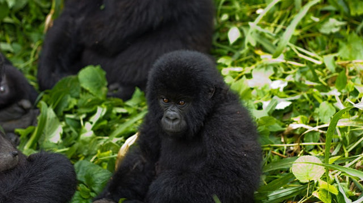 A Promising Future for Endangered Gorillas as Their Population Exceeds 1,000