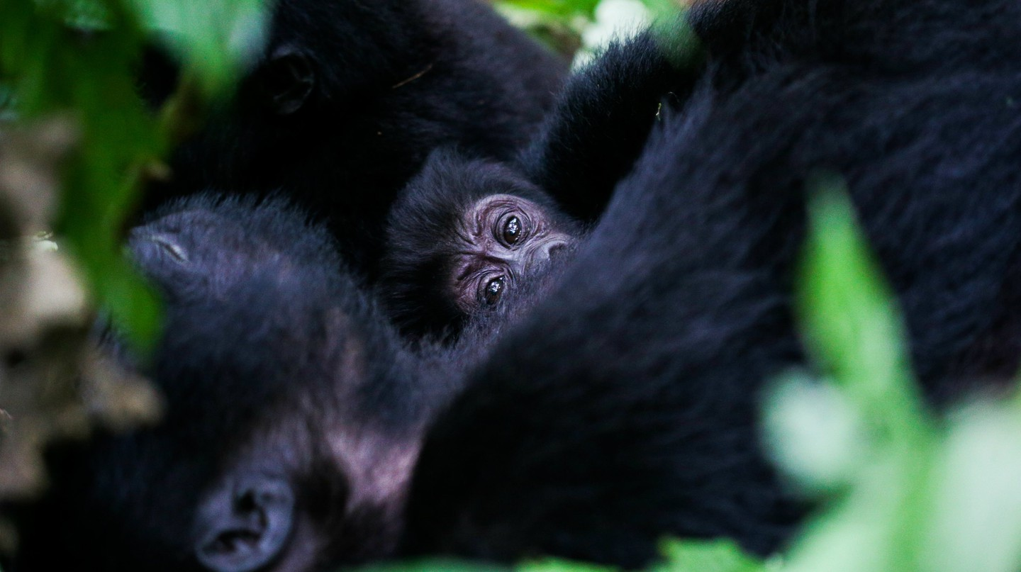 Baby gorilla in Bwindi Impenetrable Forest
