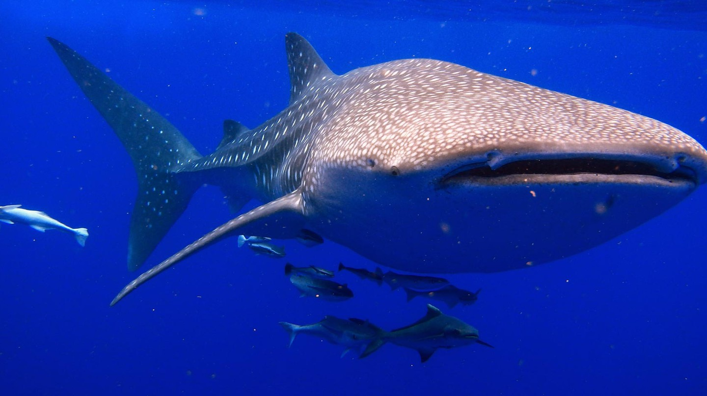 Large numbers of whale sharks have been sighted in waters off Nosy-Be