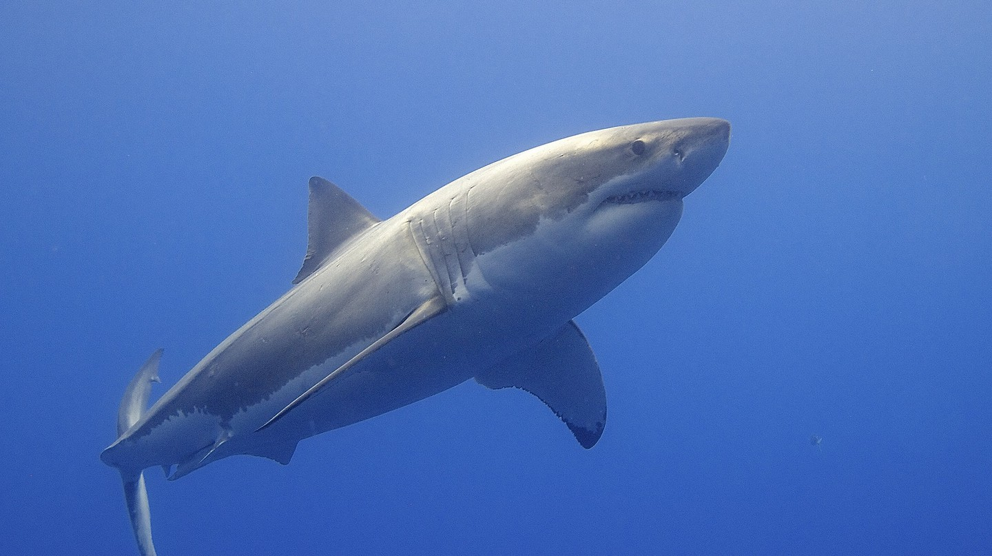 We still know very little about the behavior of Great White Sharks