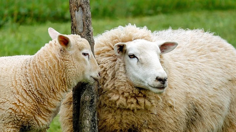 Urban sheep farming in Paris