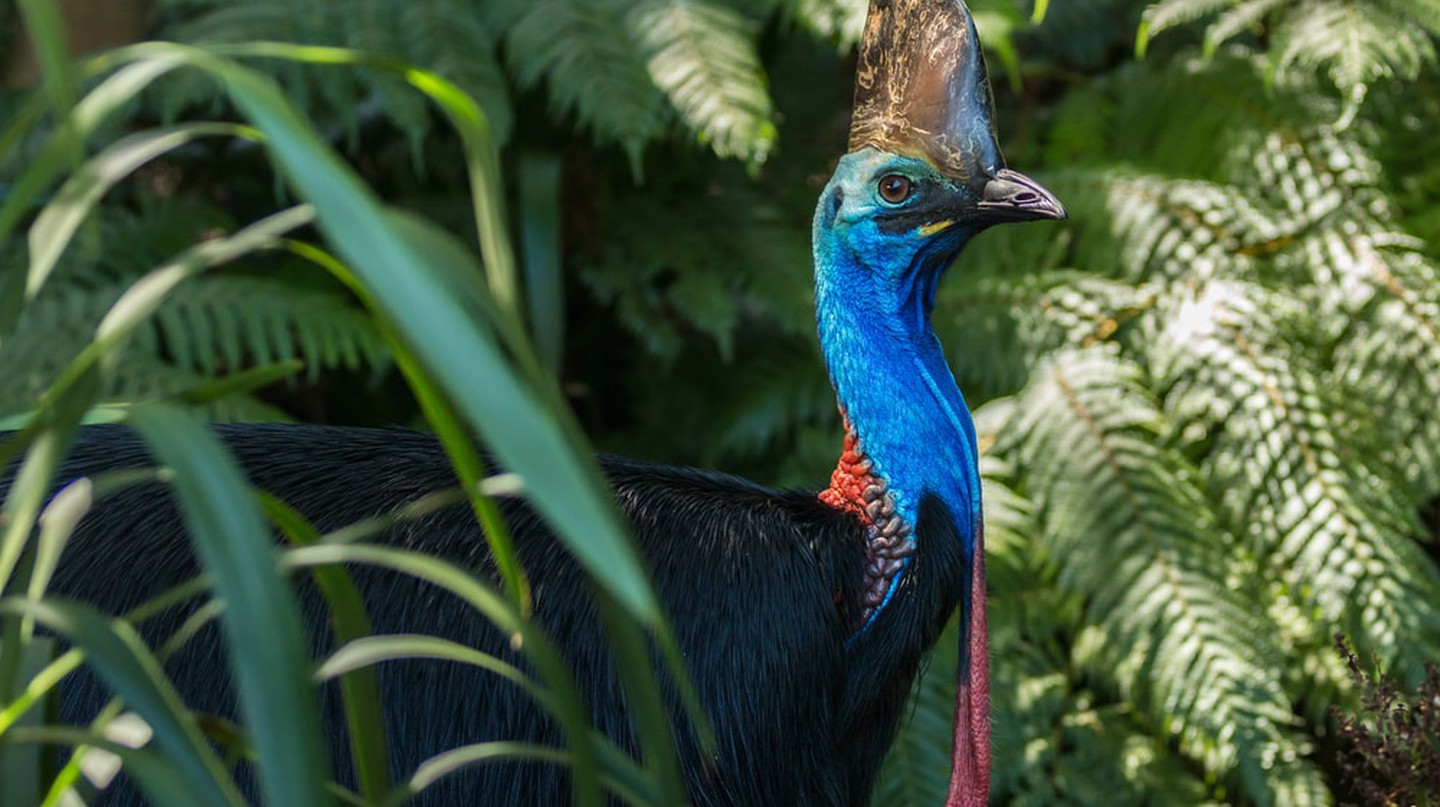 Southern cassowary at Daintree National Park