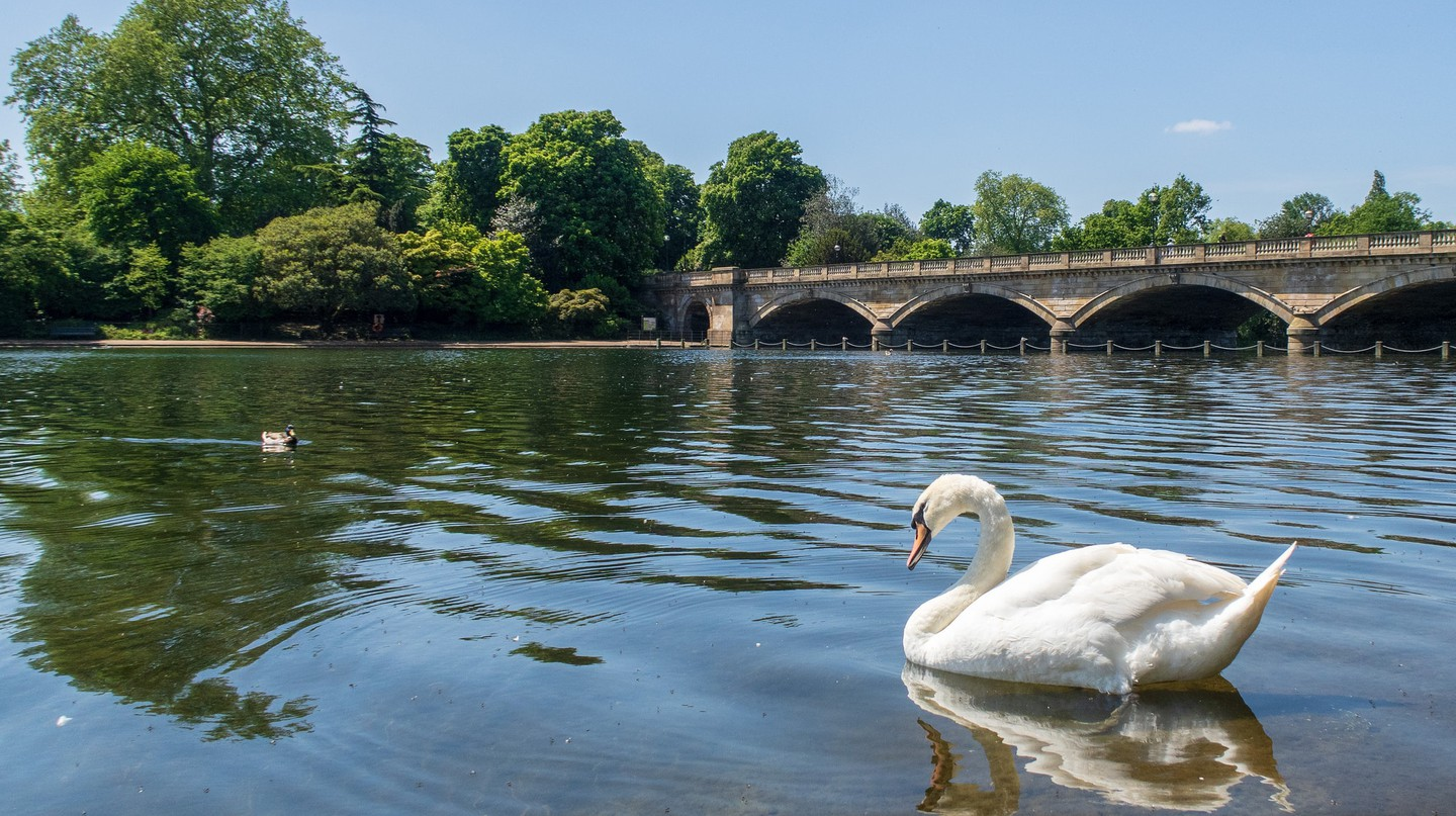 A swan in Hyde Park, London
