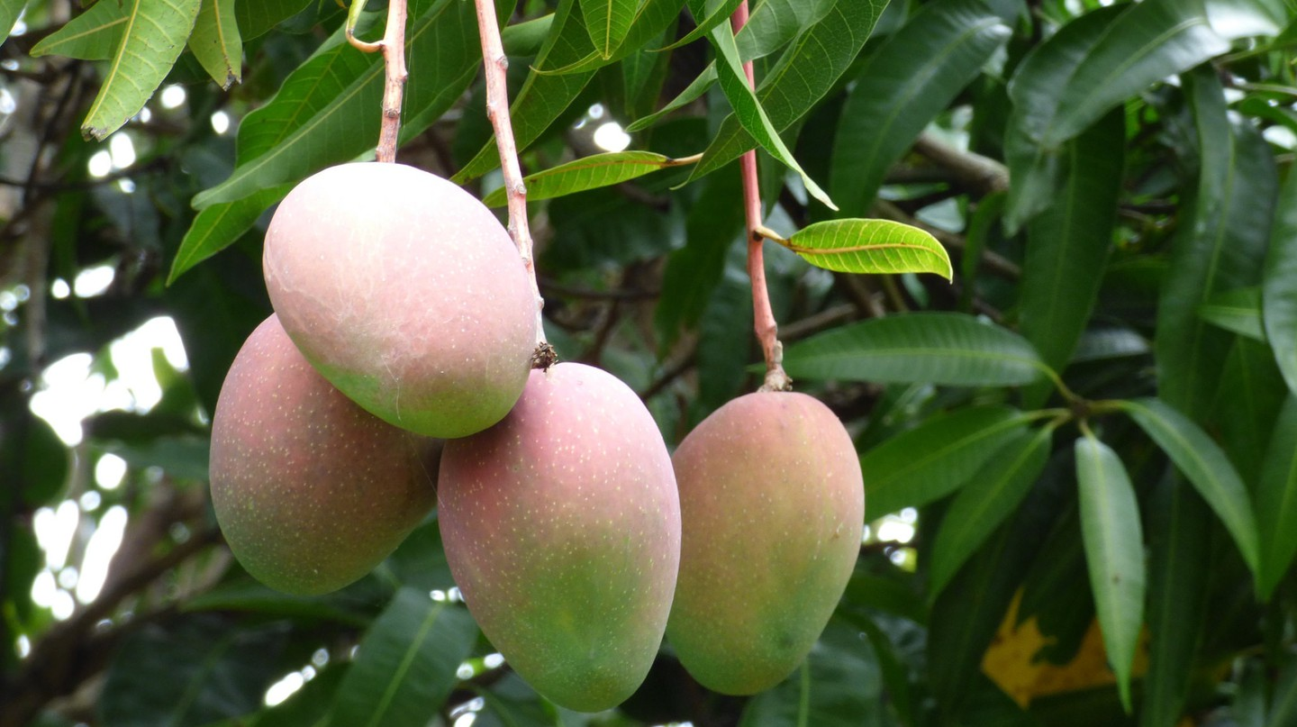 Mango tree in Hawaii