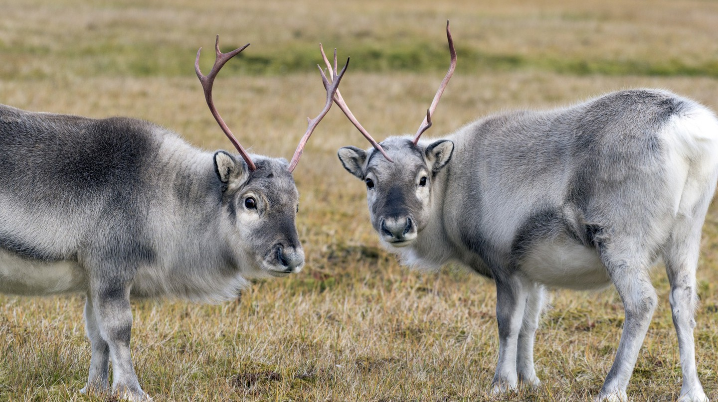 Reindeer grazing in Norway