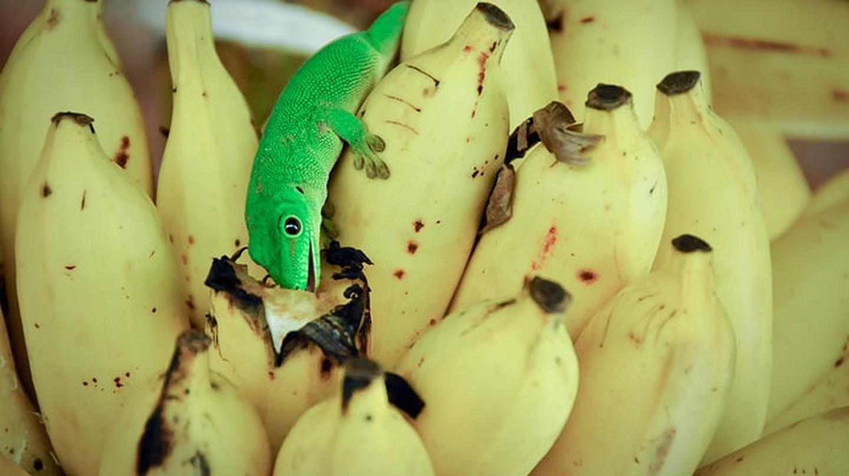 A gecko eating a Madagascan banana
