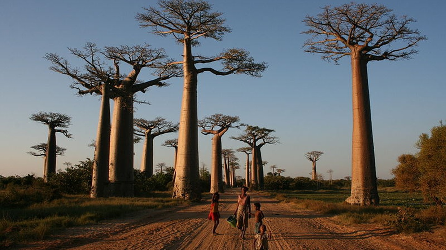 The Avenue of Baobabs in Madagascar