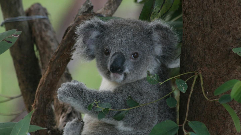 Koala recuperating at the Koala Hospital in Port Macquarie