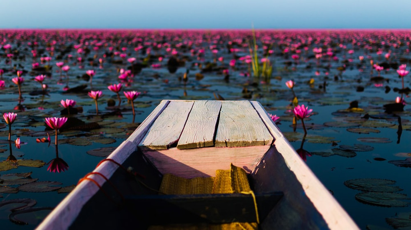 Sea of red lotus, Thailand