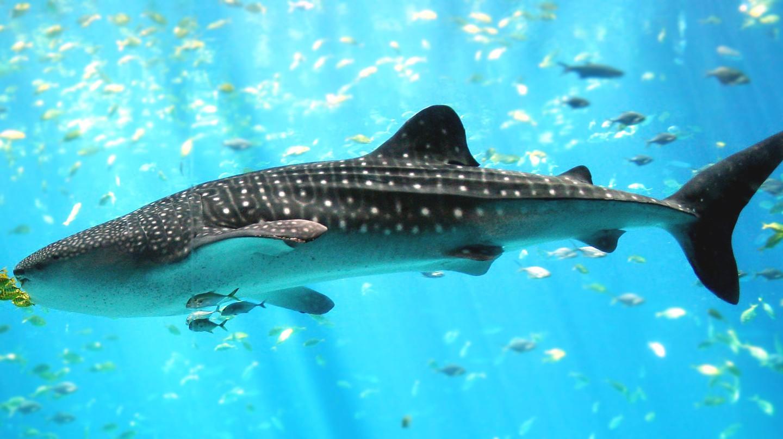 Majestic whale shark