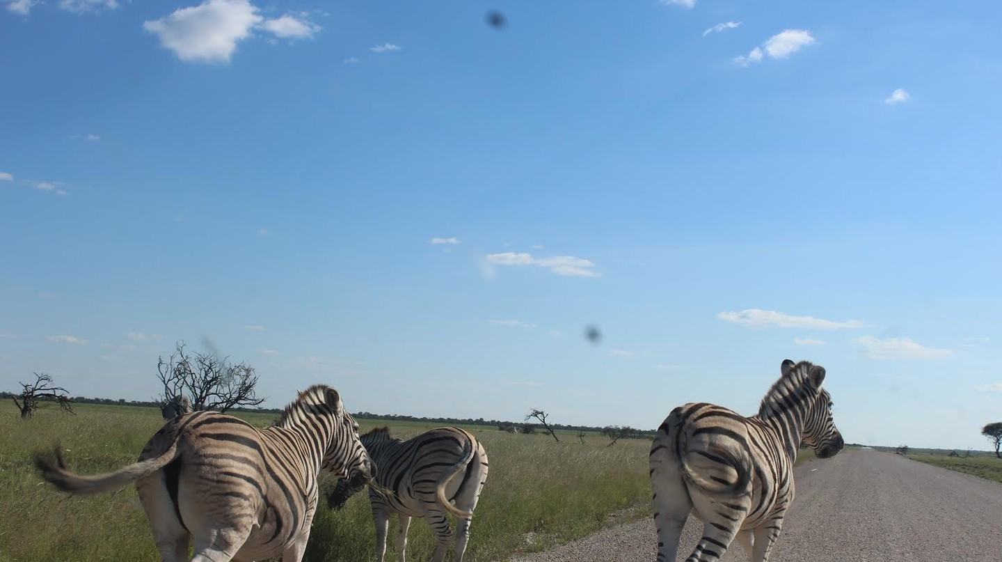Zebras in the Etosha national park.