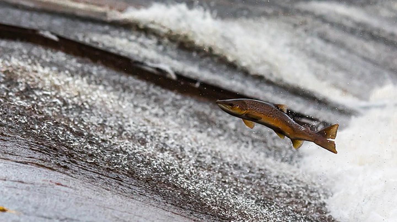 A wild salmon