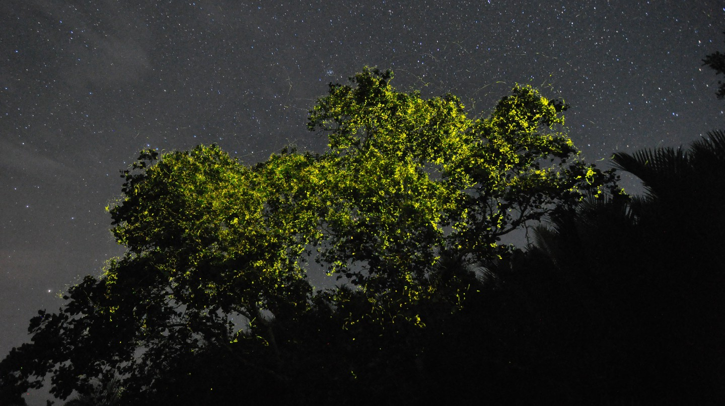 Pteroptyx macdermotti fireflies gathering in the mangroves of Bohol's Abatan river