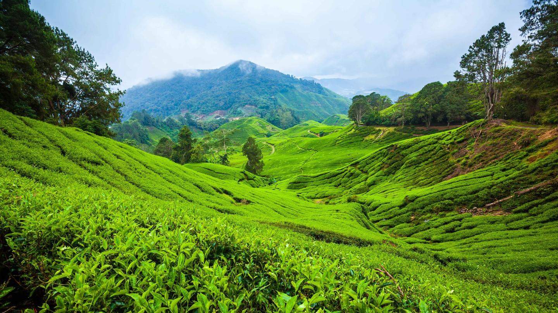 Cameron Highlands Tea Plantations