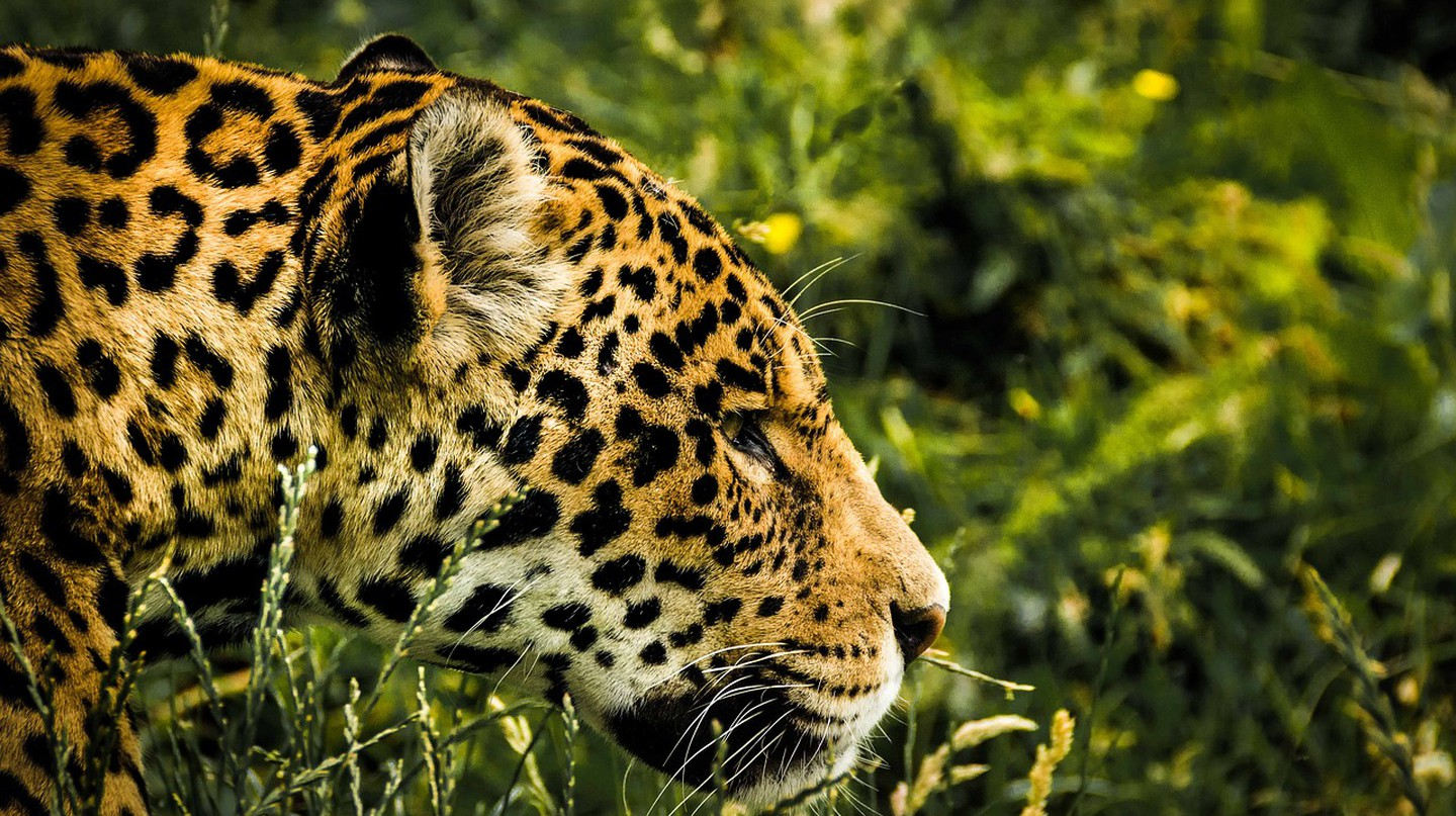 How These Bolivian Ranches Are Helping to Conserve Endangered Jaguars