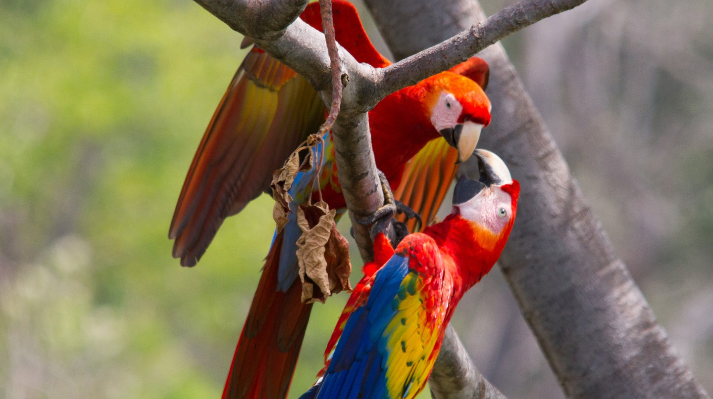 Scarlet macaws are social and chatty
