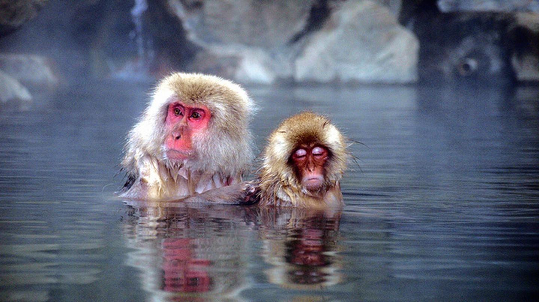 Snow monkeys in hot spring, Japan