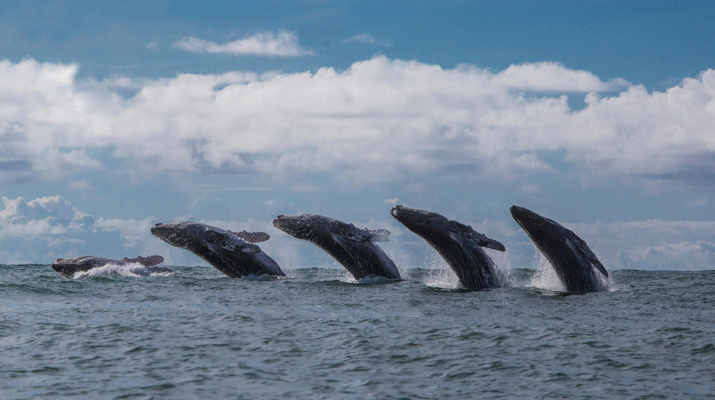 Head to Colombia's Pacific Coast to witness the immensity and majesty of the humpback whale