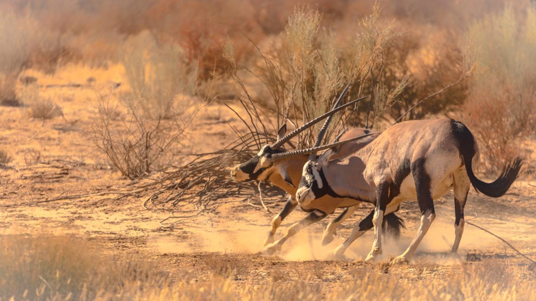 Oryx in the Kgalagadi