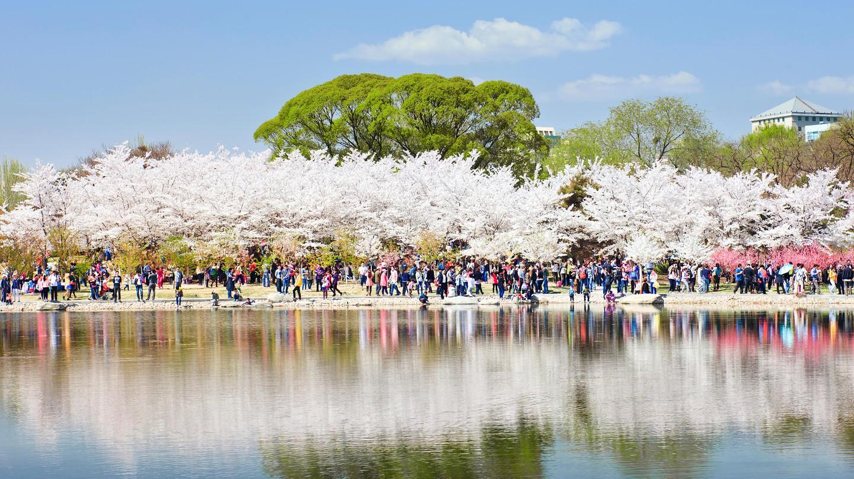 Yuyuantan Park Cherry tree blossom festival