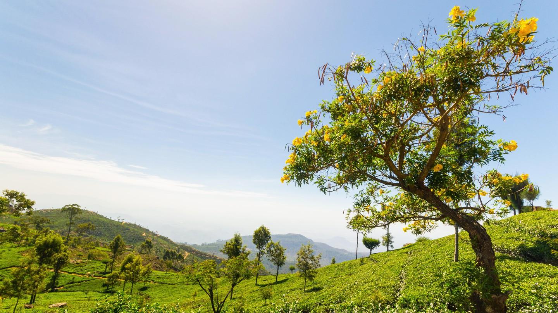 Sri Lanka is the world's fourth-largest tea producer