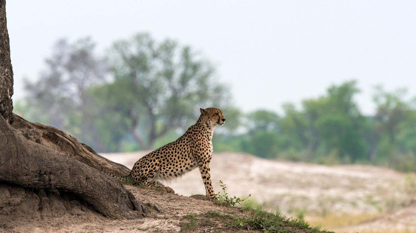 Cheetah on look out under a tree Hwange National Park, Zimbabwe