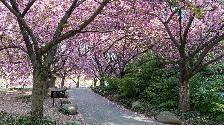 The Cherry Walk in the Brooklyn Botanic Garden.