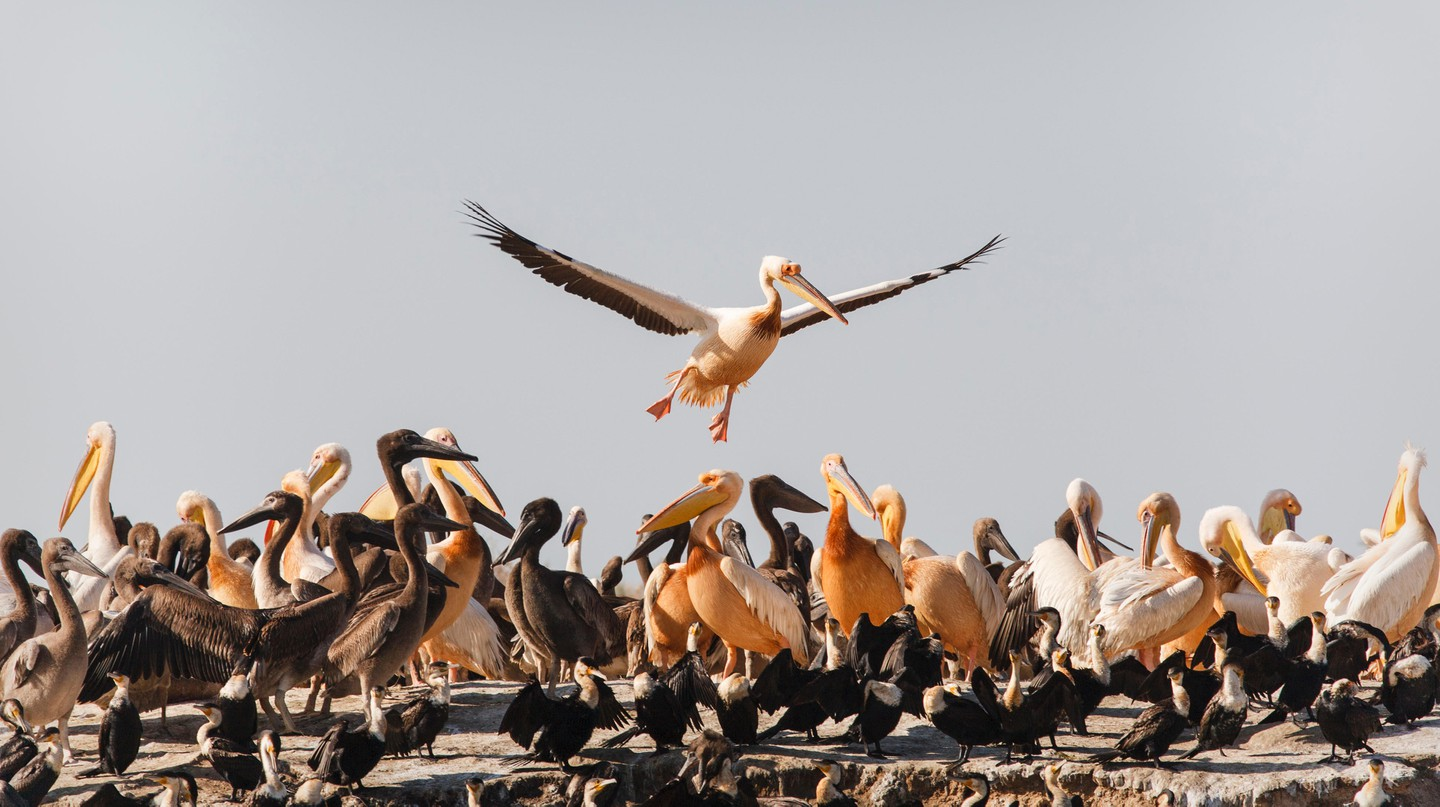 A third of Senegal's 650 to 700 bird species are winter migrants, like the great white pelican