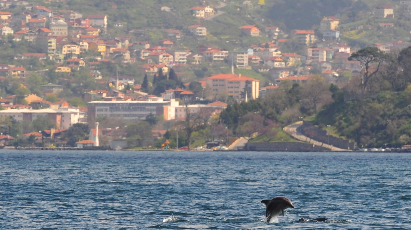 The Bosporus is home to three species of dolphins