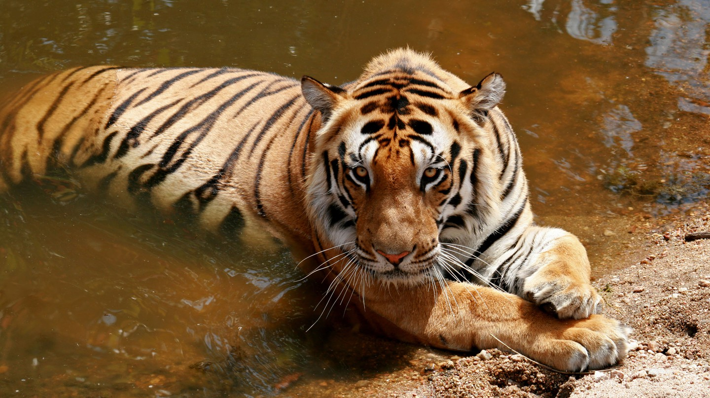 Kanha National Park is just one of a handful of places in India which offer sightings of tigers in their natural habitat