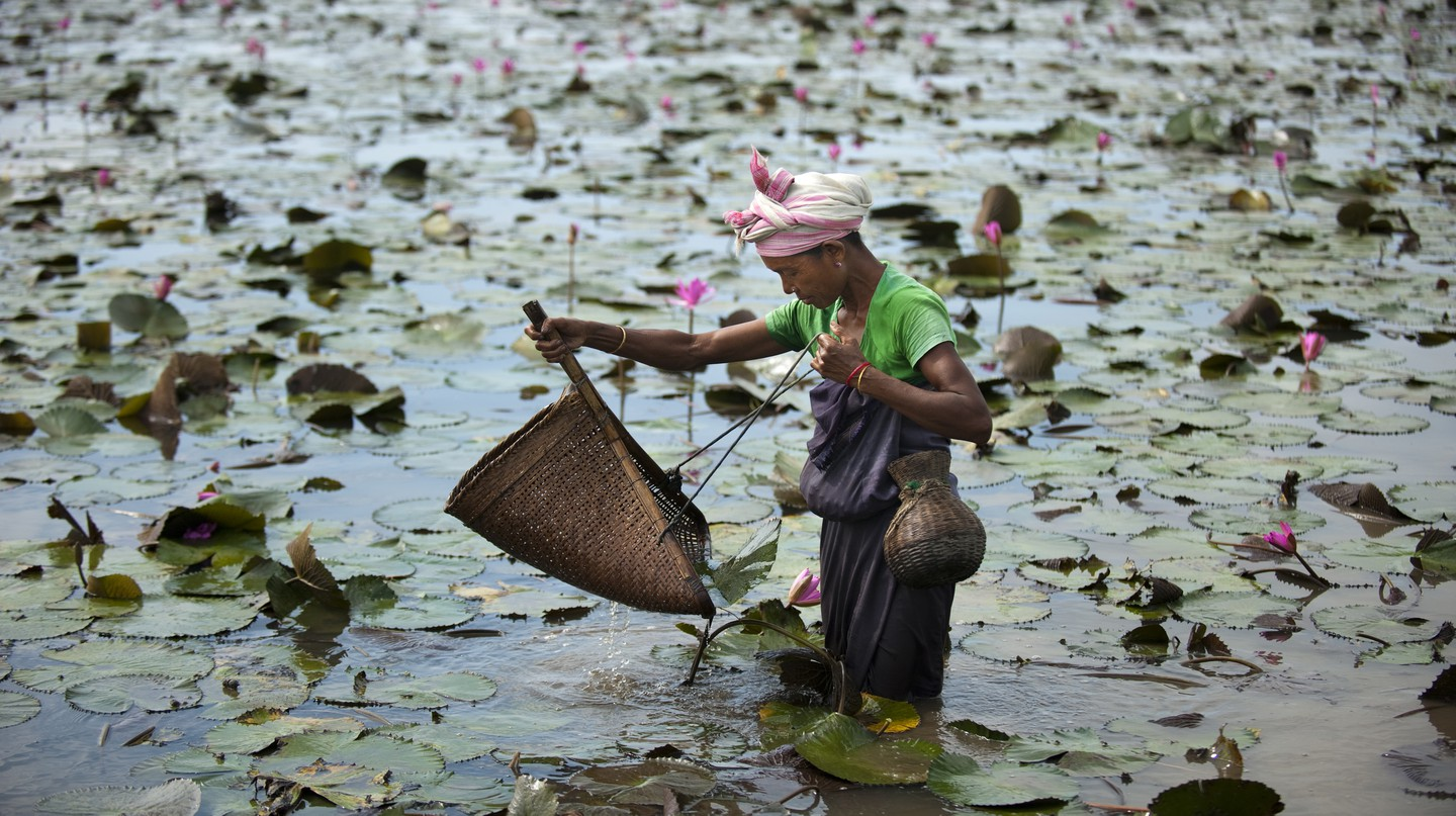 A woman uses a shovel-shaped basket net to fish for crabs among lilies, Assam, India