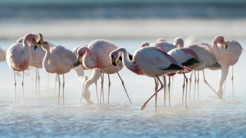 Flamingoes at Laguna Colorada, Bolivia