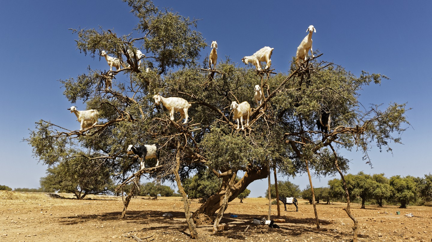 See the tree-loving goats in Morocco