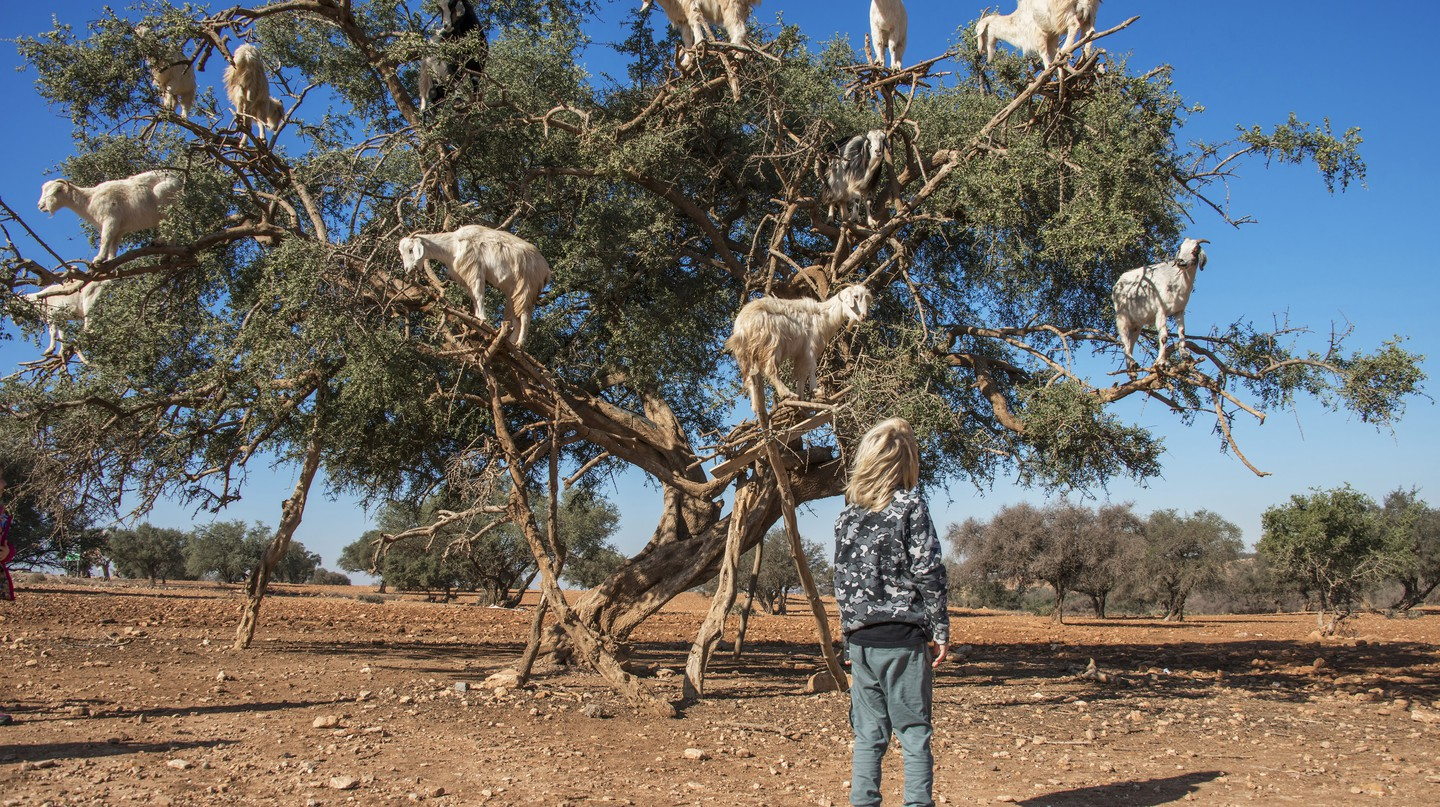 Climbing goats on an argan tree in Morocco