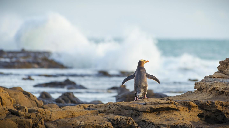 Yellow Eyed Penguin, Curio Bay, South Island, New Zealand