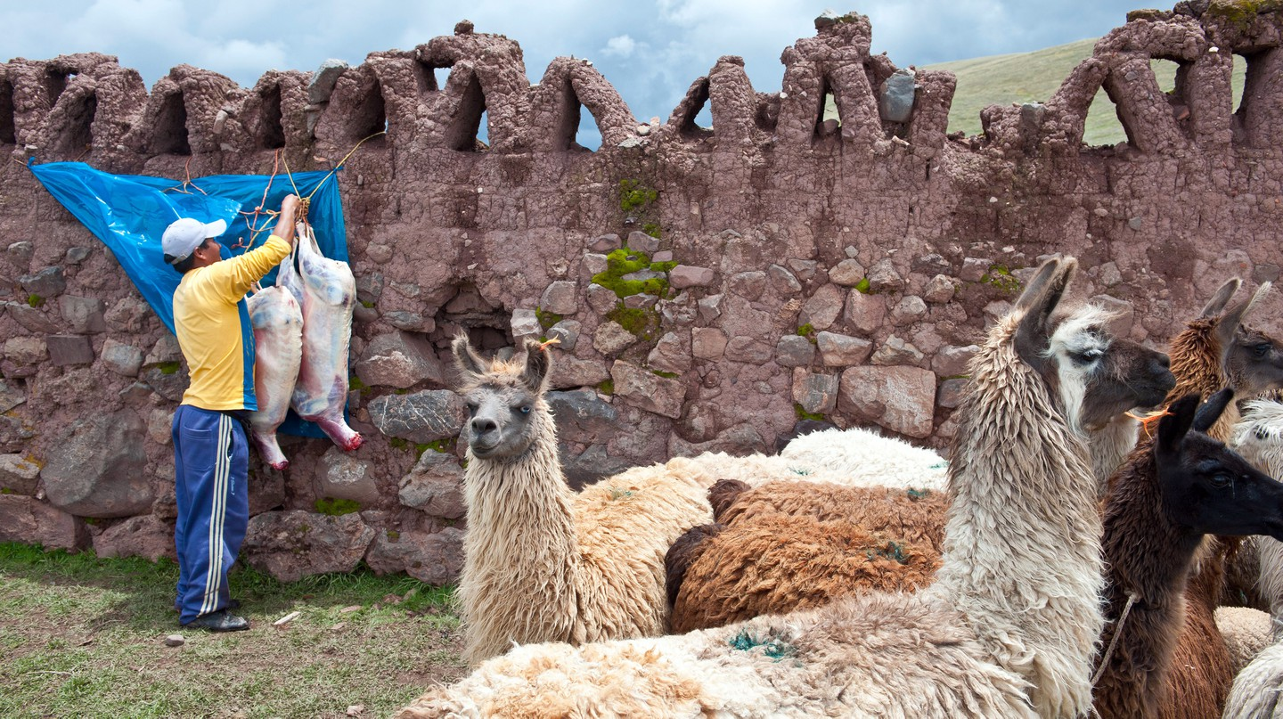 Llamas are farmed for their wool and meat