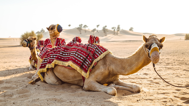 Camels resting on the desert sand, Abu Dhabi