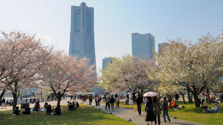 Cherry Blossom season is a wonderful time to visit Yokohama, Japan
