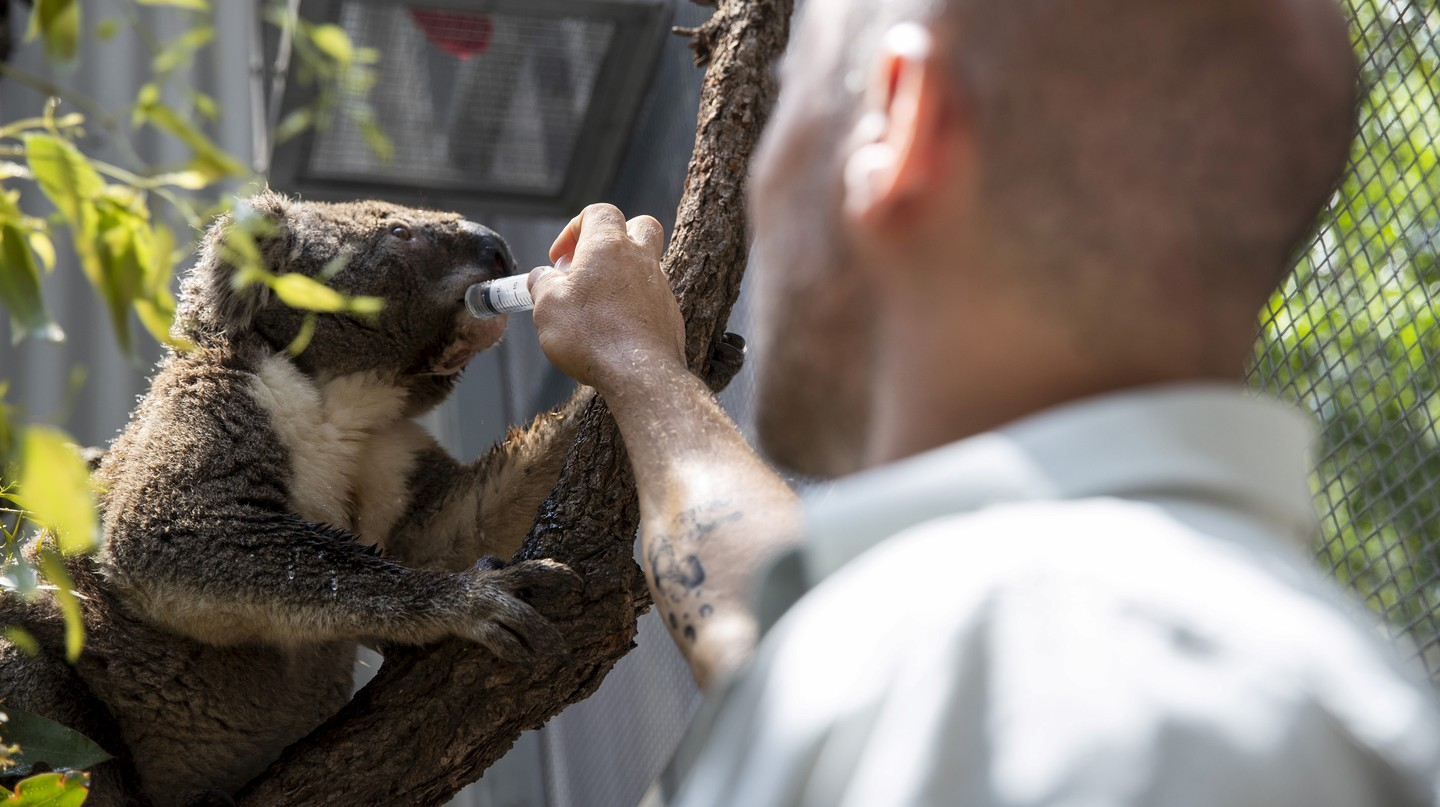 Taronga provides care for over 50 koalas in their wildlife hospitals located in Sydney and Dubbo