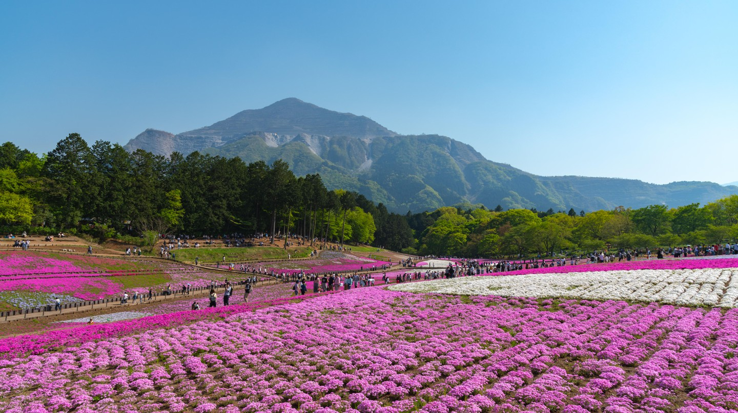 Hitsujiyama Flower Park is blanketed with pink and purple 'shibazakura' (moss phlox) in April