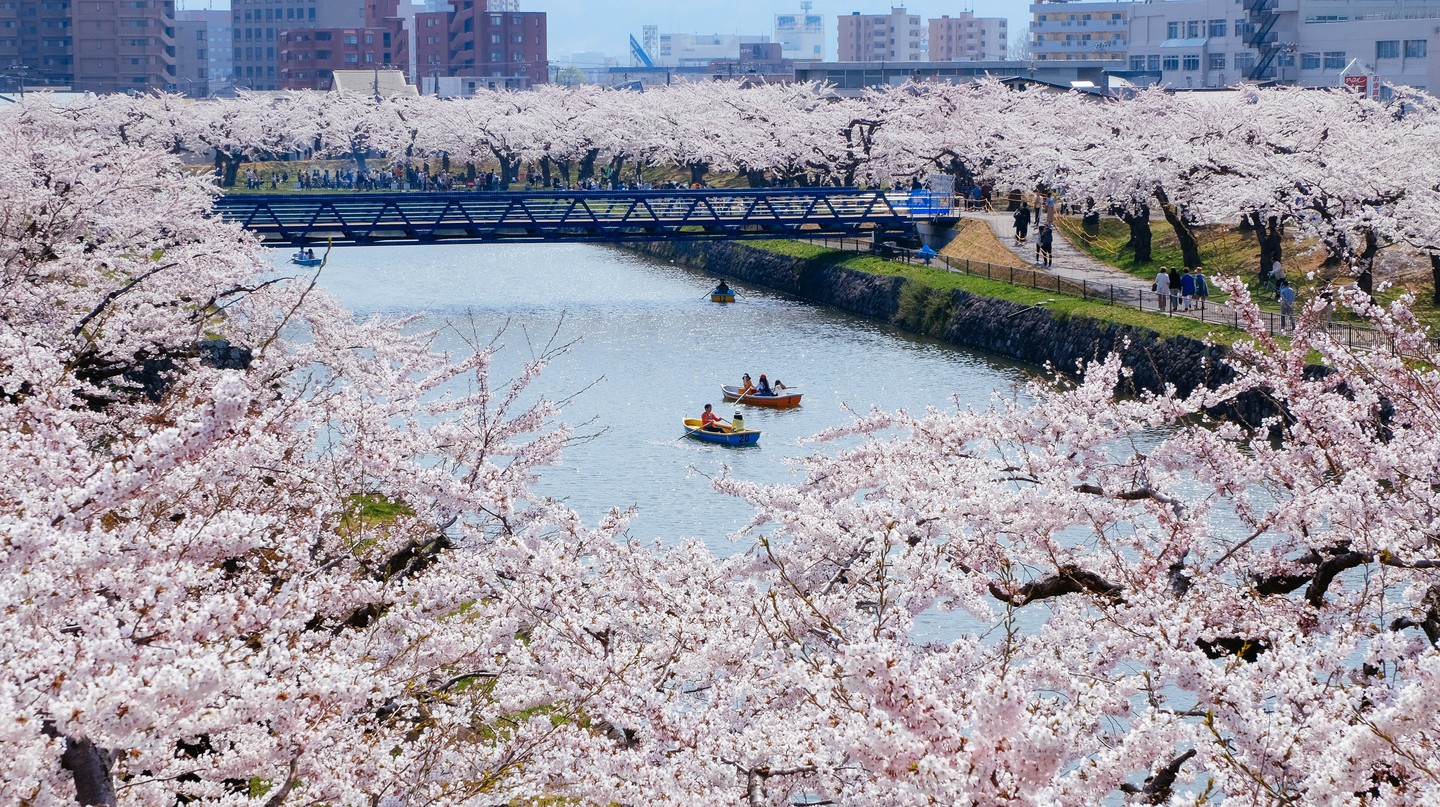 In spring, cherry blossoms in bloom are a popular sight in Hakodate, Japan