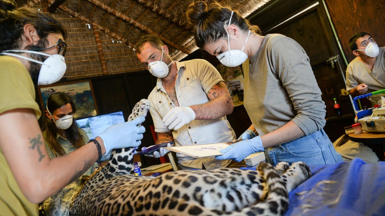 Jaguares en la Selva, or Jaguars into the Wild, aims to reintroduce jaguars into their natural habitat