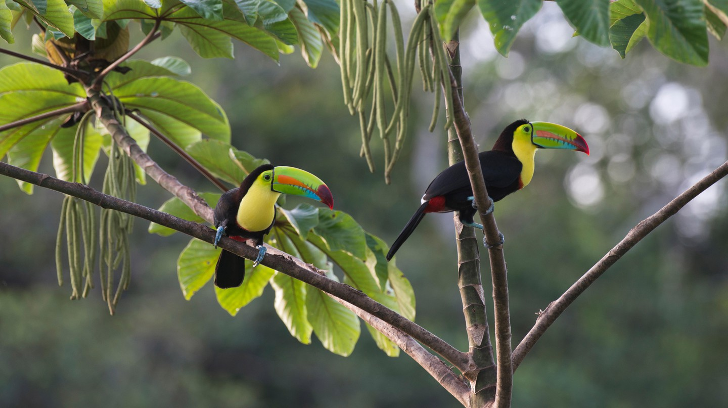 Keel-billed toucans are among Bocas del Toro's special species