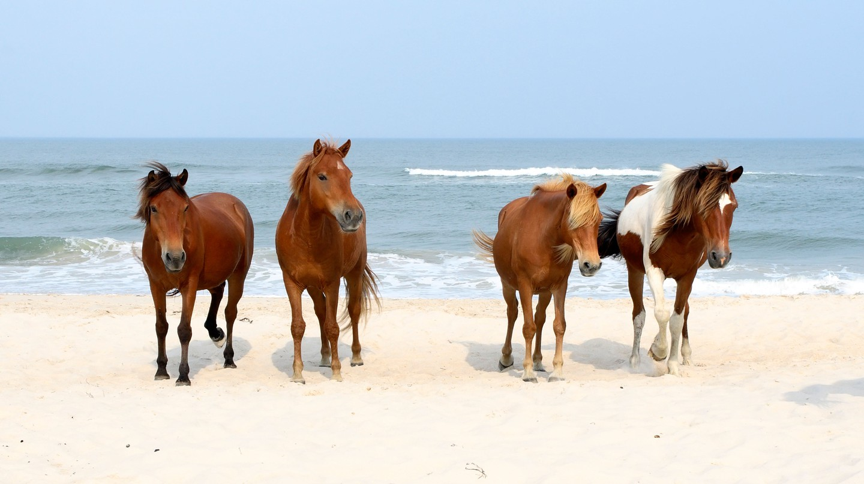 Assateague Island National Seashore is home to gorgeous wild horses