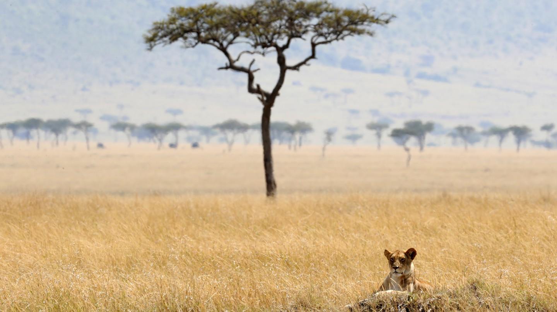 Lions at the Maasai Mara National Reserve in Kenya