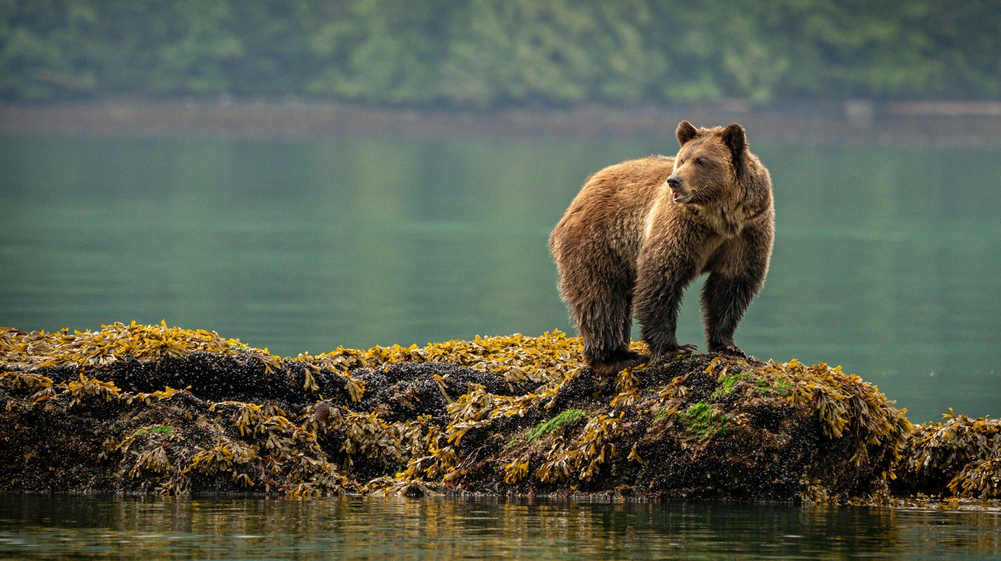 There are thousands of grizzly bears in British Columbia