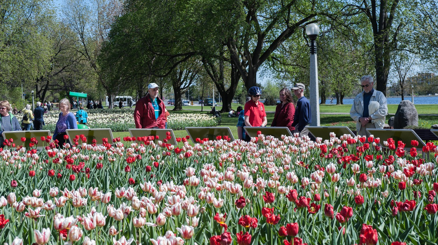 The famous Tulip festival fills the city with beautiful blooms every May