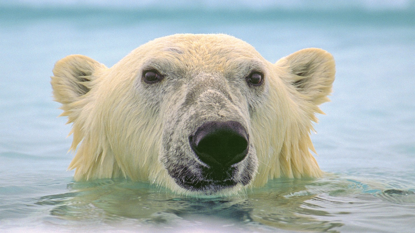 More people have landed on the moon than have come face to face with a polar bear in the water