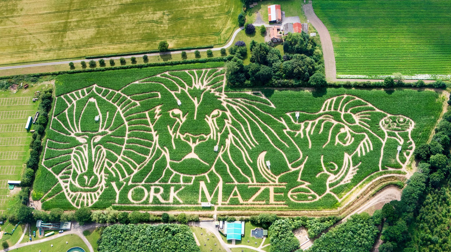 York Maze comprises 1.5m living maize plants
